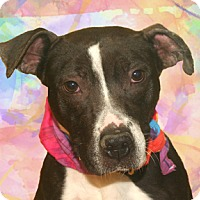 Staffordshire Bull Terrier Mix Dog for adoption in Cincinnati, Ohio - Pocket