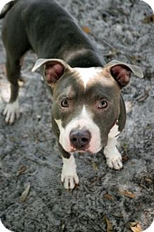 Pit Bull Terrier Mix Dog for adoption in Bradenton, Florida - Donald