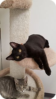 Domestic Shorthair Kitten for adoption in Danville, Indiana - Ferdinand