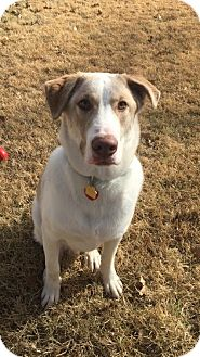 Labrador Retriever/Husky Mix Dog for adoption in Fort Worth, Texas - Rocky