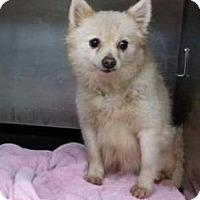 Adopt A Pet :: Snowball - Newport, KY