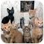 Photo 2 - Domestic Shorthair Kitten for adoption in Chicago, Illinois - KITTENS!