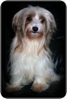 Yorkie, Yorkshire Terrier Dog for adoption in Elmhurst, Illinois - Star