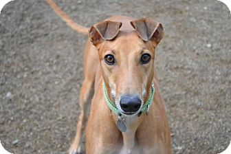 Greyhound Dog for adoption in Chagrin Falls, Ohio - Wildwood (Flying Wildwood)