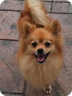Pomeranian Dog for adoption in Hilliard, Ohio - Maddie