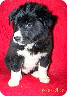 Border Collie Mix Puppy for adoption in Sherman, Connecticut - Bruce Betty's Dog