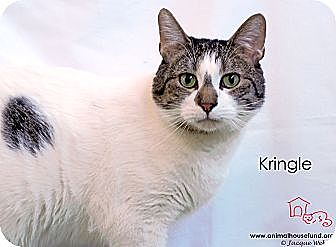 Domestic Shorthair Cat for adoption in St Louis, Missouri - Kringle