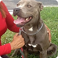 Pit Bull Terrier Mix Dog for adoption in Coral Springs, Florida - Layla