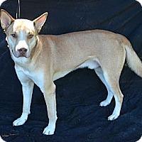 Adopt A Pet :: Koda - Plano, TX