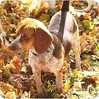 Adopt A Pet :: Lola - Novi, MI