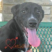 Adopt A Pet :: Melody - white settlment, TX