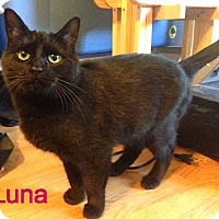 Domestic Shorthair Cat for adoption in Williamston, Michigan - Luna