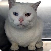 Adopt A Pet :: Snow - Germantown, MD