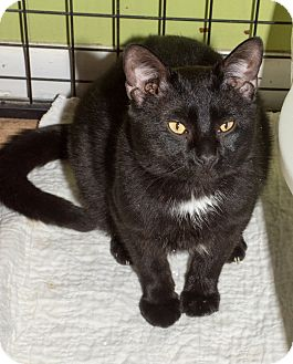 Domestic Shorthair Cat for adoption in St. Louis, Missouri - Nerino