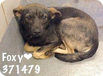 Terrier (Unknown Type, Medium) Mix Dog for adoption in San Antonio, Texas - A371479 Foxy