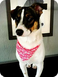 Rat Terrier/Chihuahua Mix Dog for adoption in Eastsound, Washington - CHICITA