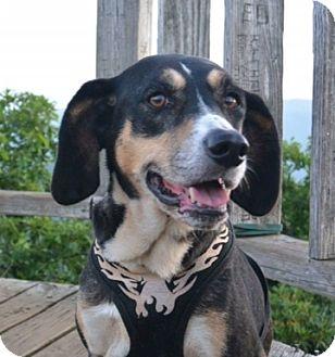 Treeing Walker Coonhound Mix Dog for adoption in Asheville, North Carolina - Biscuit