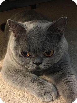 British Shorthair Cat for adoption in Beverly Hills, California - Slipper