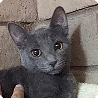 Russian Blue Cat for adoption in Phoenix, Arizona - Lily