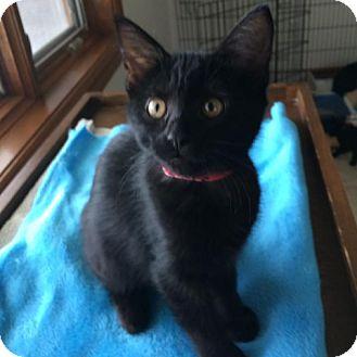 Domestic Shorthair Kitten for adoption in Green Bay, Wisconsin - Paris