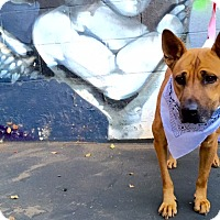 Jindo/Chow Chow Mix Dog for adoption in Los Angeles, California - Vivienne (Vivi) Westwoof