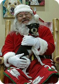 Rat Terrier/Terrier (Unknown Type, Small) Mix Dog for adoption in Mountain View, Arkansas - Bobo