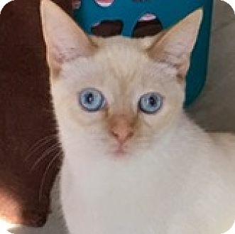 Siamese Kitten for adoption in Houston, Texas - Curry