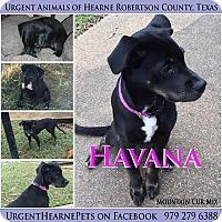 Adopt A Pet :: Havana - Hearne, TX