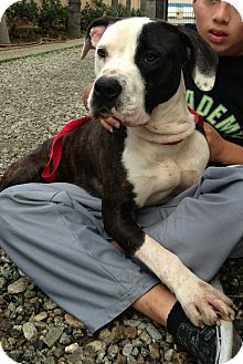 American Bulldog/American Pit Bull Terrier Mix Dog for adoption in San Diego, California - Wilson URGENT