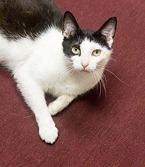 Domestic Shorthair Cat for adoption in Chicago, Illinois - Panda