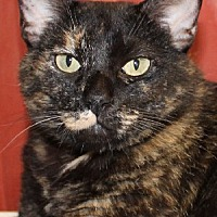 Domestic Shorthair Cat for adoption in Savannah, Missouri - Cleopatra