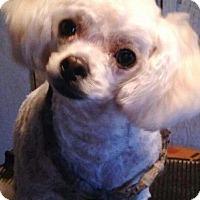 Adopt A Pet :: ANGELINA 2 - Chandler, AZ