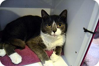 Domestic Shorthair Cat for adoption in Broadway, New Jersey - Ling