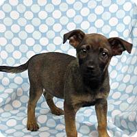 Adopt A Pet :: ALANA - Westminster, CO