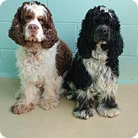 Adopt A Pet :: Cowboy - Kannapolis, NC