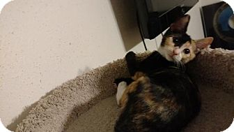 Calico Kitten for adoption in Land O Lakes, Florida - Princess