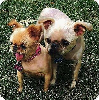 Brussels Griffon Dog for adoption in Austin, Texas - OLIVIA & BOB near KANSAS CITY
