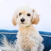 Adopt A Pet :: Romeo - Auburn, CA
