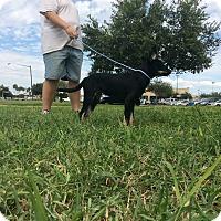 Terrier (Unknown Type, Medium)/German Shepherd Dog Mix Puppy for adoption in Brownsville, Texas - Iggy