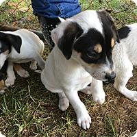Adopt A Pet :: Marshmallow - Garner, NC