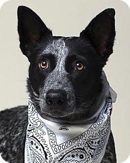Australian Cattle Dog Dog for adoption in Pt. Richmond, California - CHARLOTTE