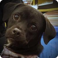 Adopt A Pet :: Perdita - Oakley, CA