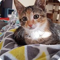 Adopt A Pet :: Callie - Brandon, FL