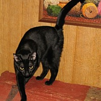 Domestic Shorthair Cat for adoption in Harrisburg, Pennsylvania - Valimai (adult female)