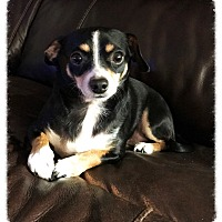 Adopt A Pet :: Mickey Mouse - Los Alamitos, CA