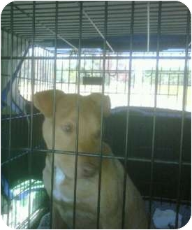 American Pit Bull Terrier Mix Dog for adoption in Killen, Alabama - Rascal