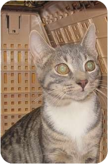 Domestic Shorthair Cat for adoption in Bayonne, New Jersey - Zena