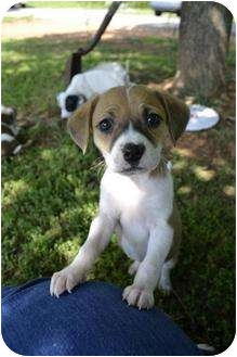 Beagle/Rat Terrier Mix Puppy for adoption in West Warwick, Rhode Island - Darling Beagle Mix Puppies!