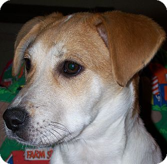 Beagle Mix Puppy for adoption in Sherman, Connecticut - Mindy Betty's Dog
