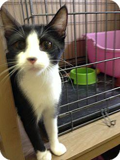 Domestic Shorthair Kitten for adoption in Fountain Hills, Arizona - OREO